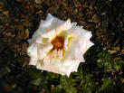 Cancer White Rose