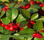 WINTER GREEN GAULTHERIA