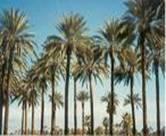 DATE PALM TREE DACTYLIFERA