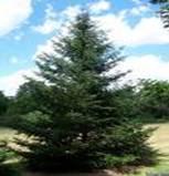 FIR TREE ABIES BALSAMEA