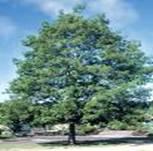 GOSPEL TREE QUERCUS ALBA