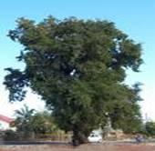 INDIAN TREE TAMARINDUS INDICA
