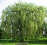 WILLOW SALIX ALBA